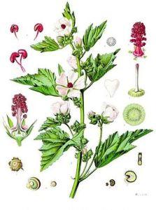 Plante de Guimauve